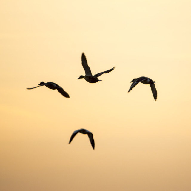"""Mallard flying at sunset, Martin mere, Lancashire, UK."" stock image"