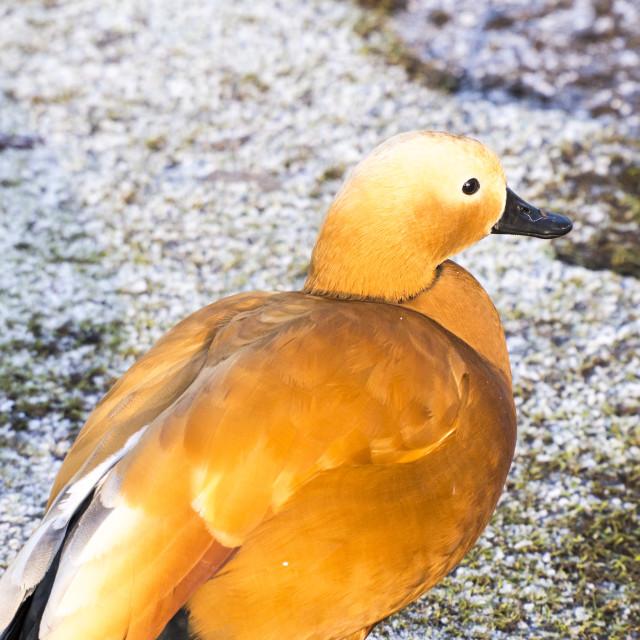 """A captive Ruddy Shelduck (Tadorna ferruginea) at Martin Mere, A Wildfowl and..."" stock image"