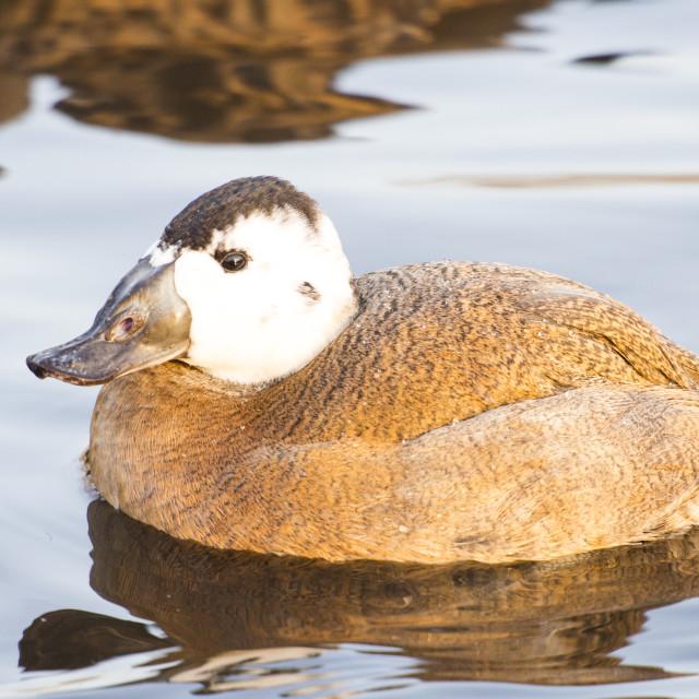 """A captive White Headed Duck (Oxyura leucocephala) at Martin Mere, A Wildfowl..."" stock image"