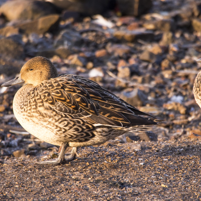 """""""Female Northern Pintail (Anas acuta) at Martin Mere, A Wildfowl and Wetlands..."""" stock image"""