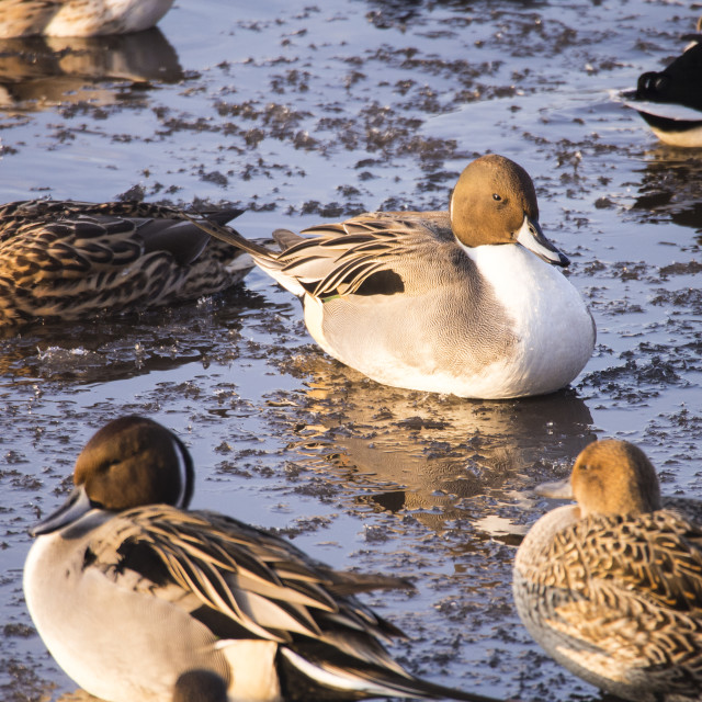 """""""Northern Pintail (Anas acuta) at Martin Mere, A Wildfowl and Wetlands Trust..."""" stock image"""