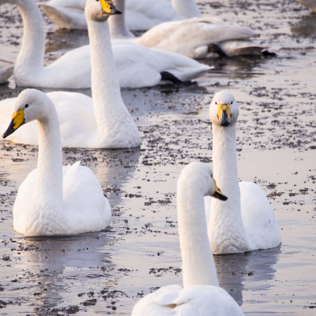 """""""Whooper Swans (Cygnus cygnus) at Martin Mere, A Wildfowl and Wetlands Trust..."""" stock image"""