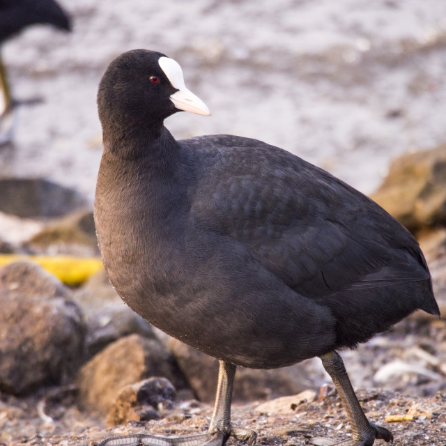 """""""A Common Coot (Fulica atra) at Martin Mere, A Wildfowl and Wetlands Trust..."""" stock image"""