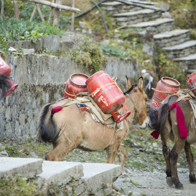 """""""A mule train transporting loads of gas cylinders close to Machapuchare or the..."""" stock image"""