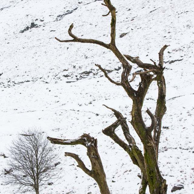 """""""A dead tree on Wrynose Pass, Lake District, UK."""" stock image"""