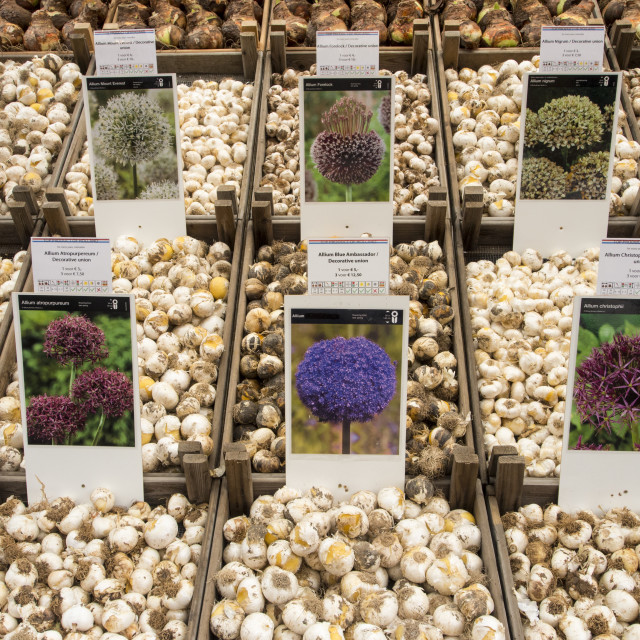 """""""Alium bulbs for sale at a market in Amsterdam, Netherlands."""" stock image"""