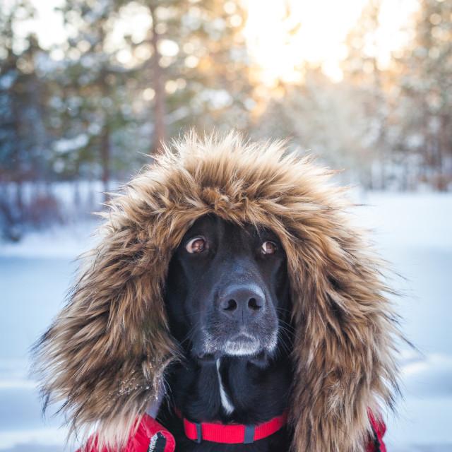 """""""Dog in Winter Coat"""" stock image"""