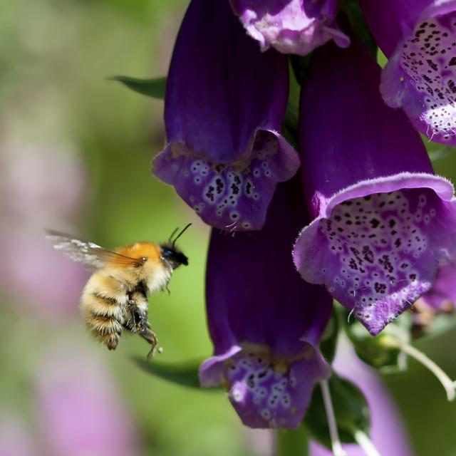 """Bee on Foxglove"" stock image"