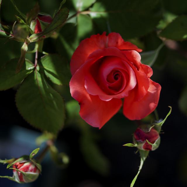 """Rose bush"" stock image"