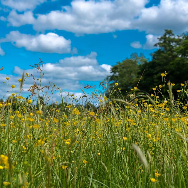 """Summer Buttercups"" stock image"