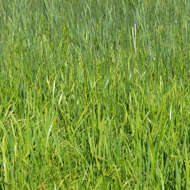 """""""Riverside marshland grass."""" stock image"""