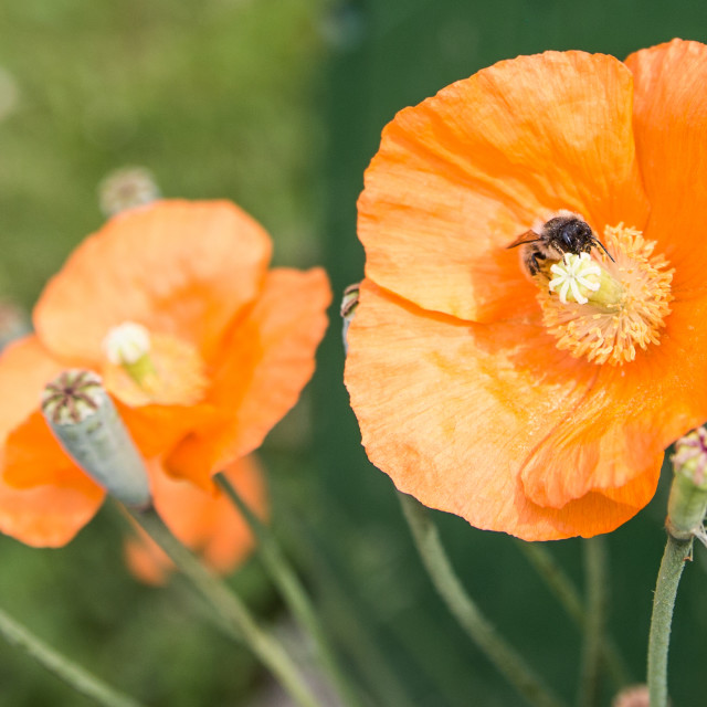 """Poppy Bee"" stock image"