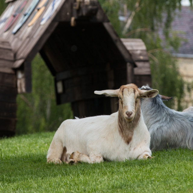 """Goats and Ram"" stock image"