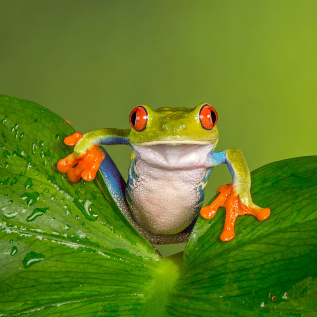 """Palm leaf frog"" stock image"