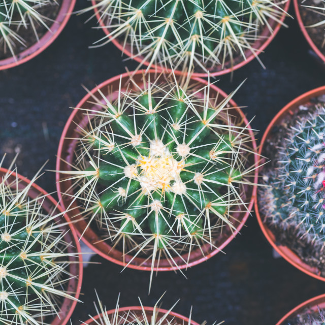 """""""Cactus in a pot overhead shot in a flowers greenhouse."""" stock image"""