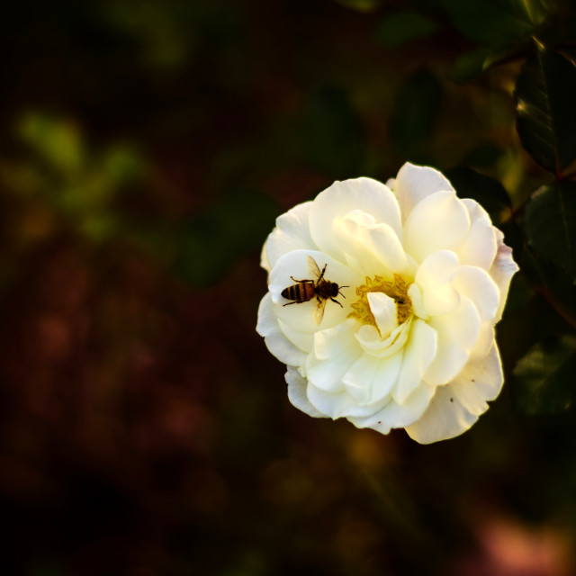 """""""Rose and Bee"""" stock image"""