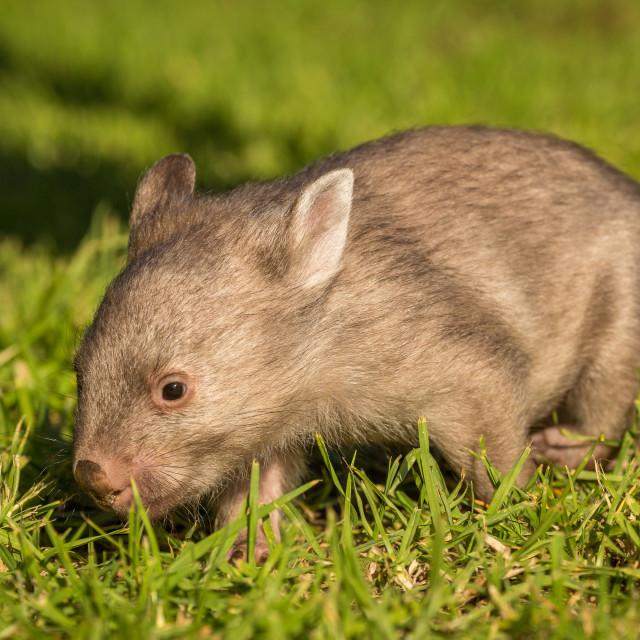 """""""Baby wombat"""" stock image"""
