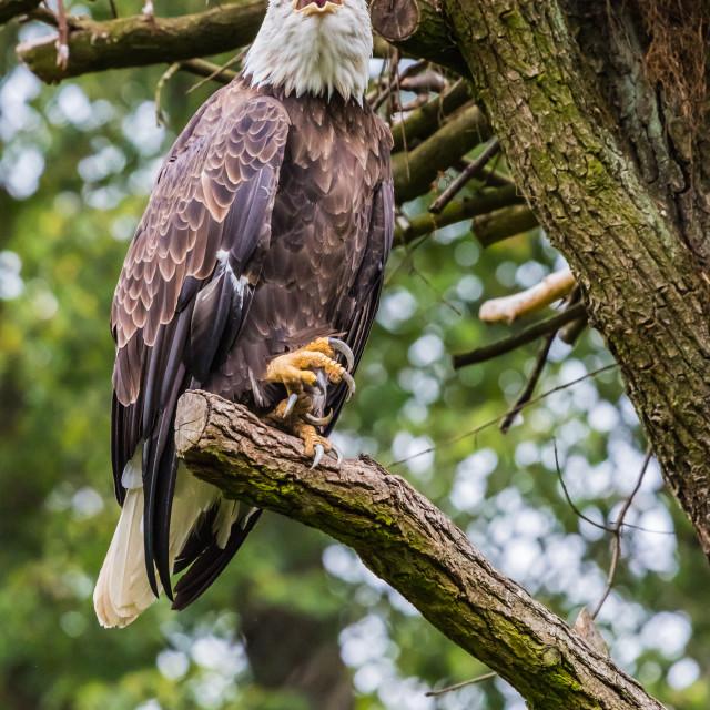 """""""Eagle [2]"""" stock image"""