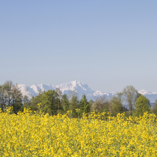 """Rape field in front of mountain Zugspitze"" stock image"