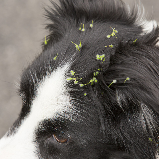 """Seeds evolved to stick to animal fur to aid distribution, stuck to a Border..."" stock image"