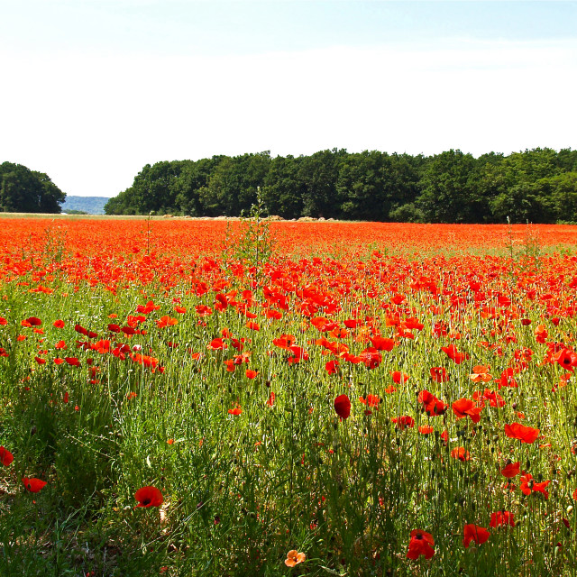 """Sea of Normandy Poppies"" stock image"