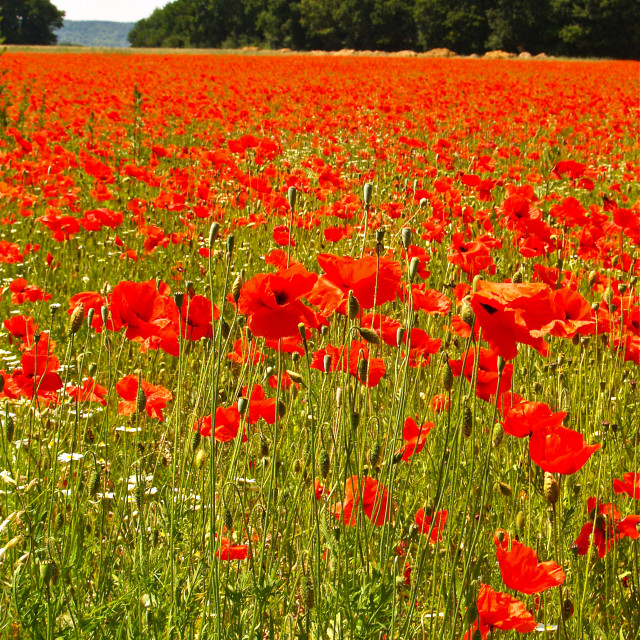 """Sea of Poppies 2"" stock image"