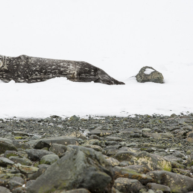 """""""A Weddell Seal, Leptonychotes weddellii, resting on ice in Larson Harbour on..."""" stock image"""