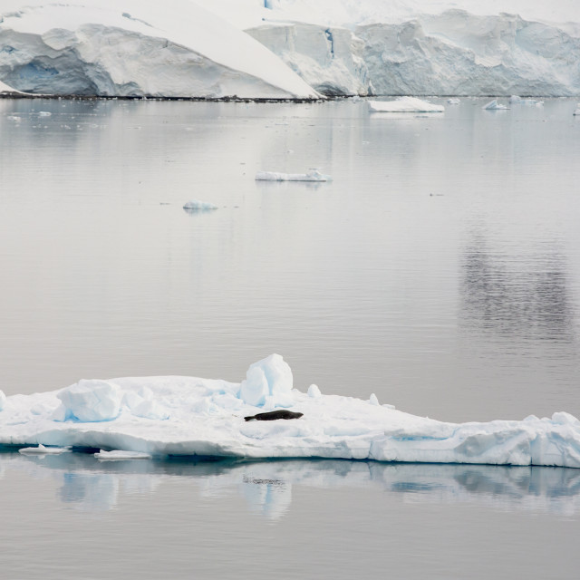 """""""A Weddell Seal, Leptonychotes weddellii, resting on ice in Paradise Bay,..."""" stock image"""