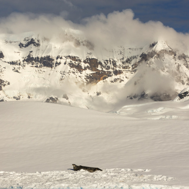 """""""A Weddell Seal, Leptonychotes weddellii, resting on ice in Drygalski Fjord,..."""" stock image"""