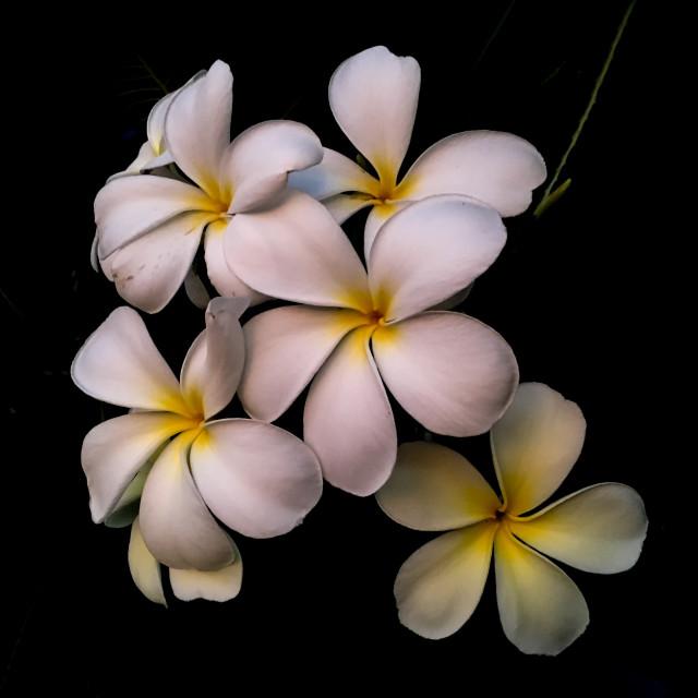 """Frangipani flowers"" stock image"