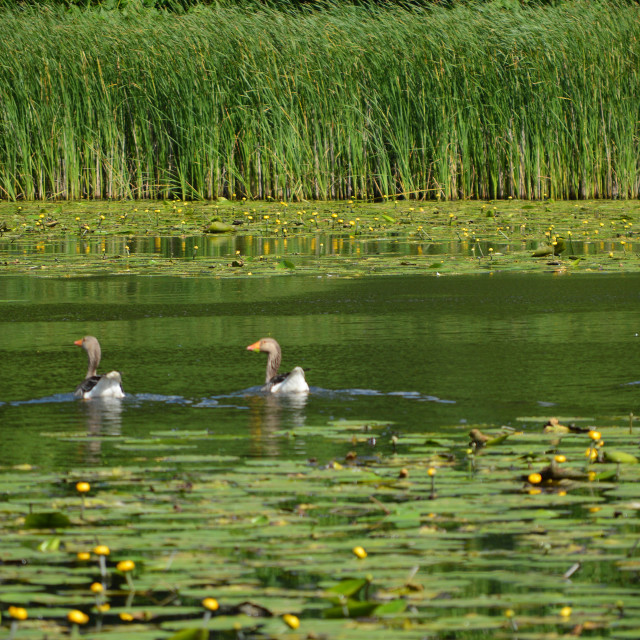 """Greylag geese on a English lake."" stock image"
