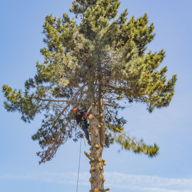 """""""Arborist working with a chainsaw in the top of a tree"""" stock image"""