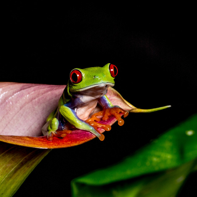 """Lily frog"" stock image"