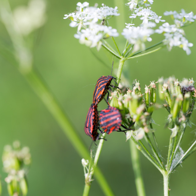 """Three individuals of the Italian striped bug (Graphosoma lineatu"" stock image"