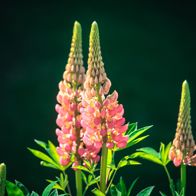 """Lupins in Light"" stock image"