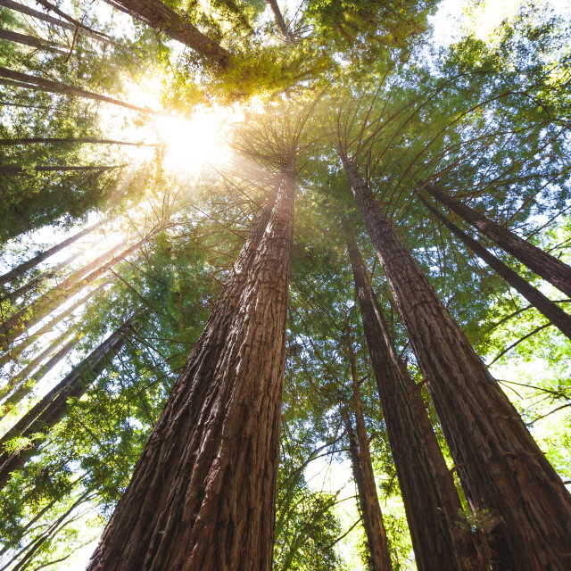 """Redwood Trees Sunburst"" stock image"