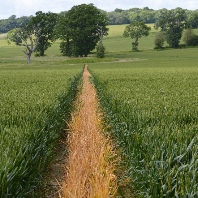 """Public footpath through a crop field."" stock image"