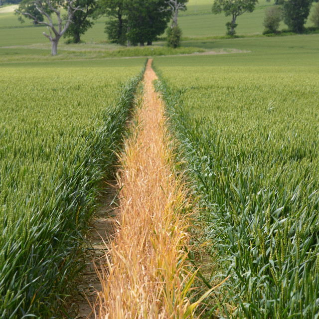 """Path in the middle of a crop field."" stock image"