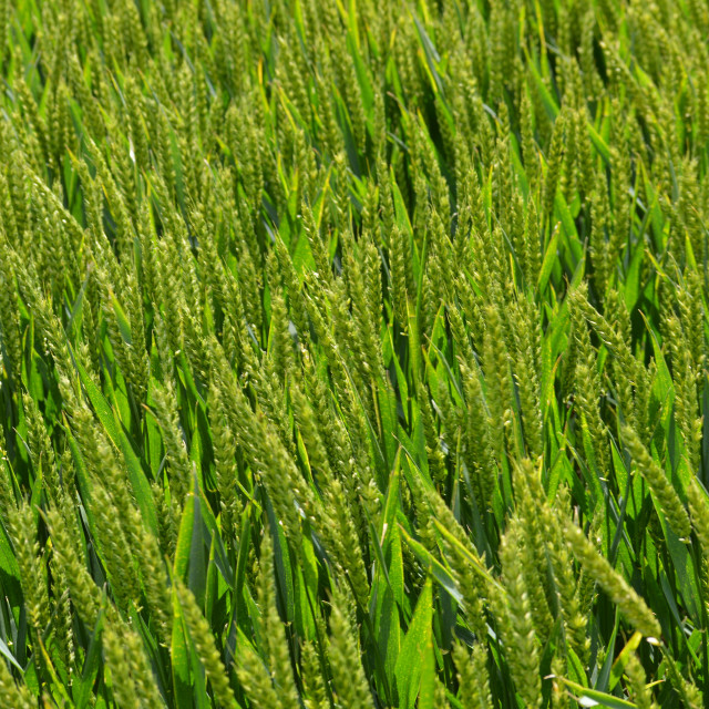 """Ripening crop of wheat."" stock image"