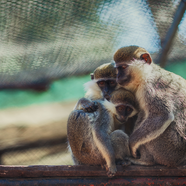 """Monkey family in a zoo"" stock image"