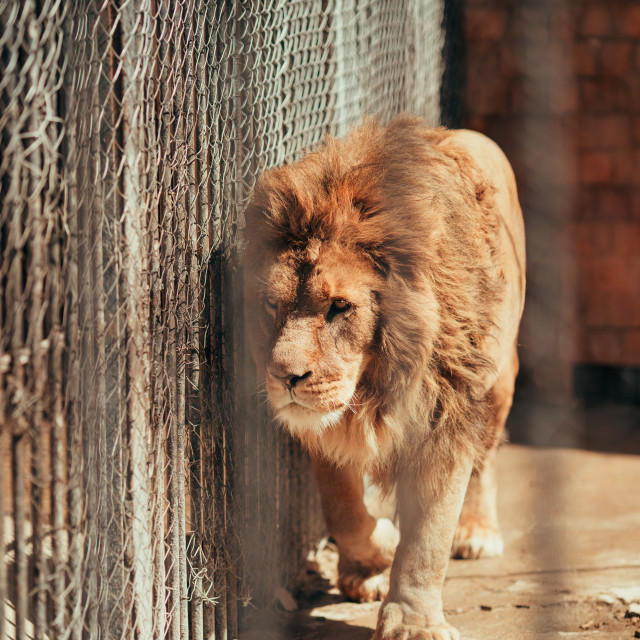 """""""Lion in a zoo cage"""" stock image"""