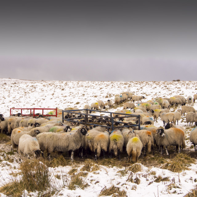 """Sheep feeding on Hay on the moors above Settle in the Yorkshire Dales..."" stock image"