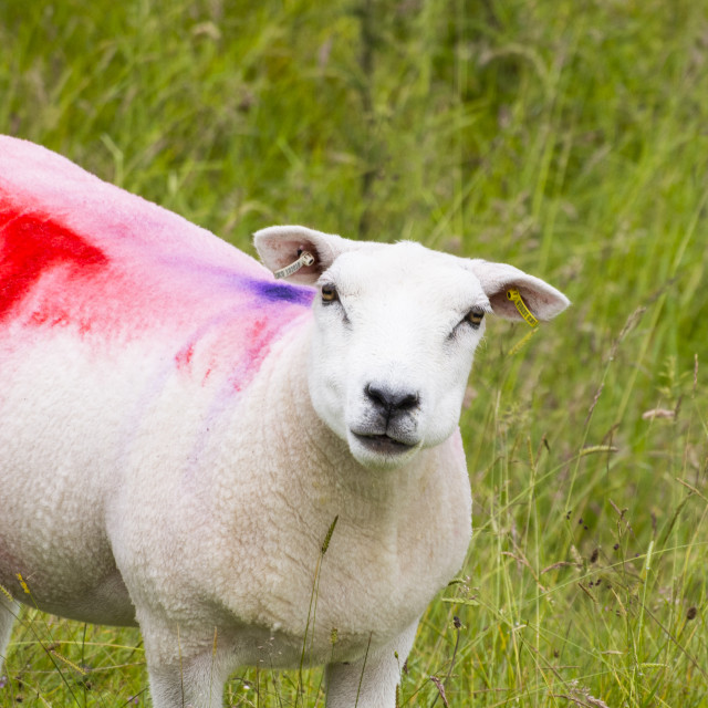 """Colourful markings on newly sheared sheep on the North Pennines moors."" stock image"