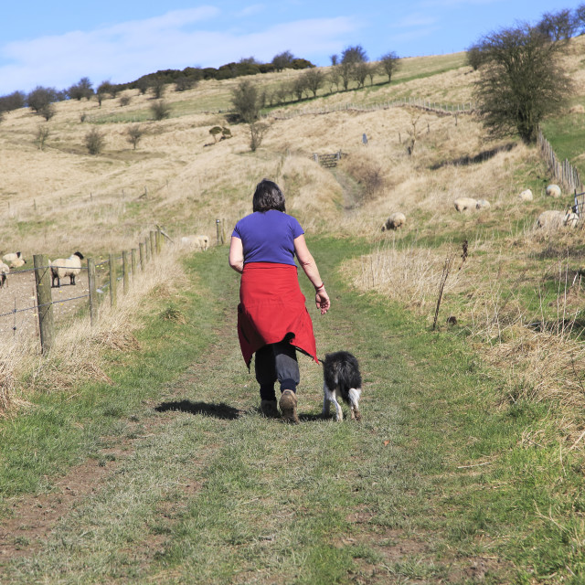 """""""Woman walking dog on lead past sheep, Cherhill Downs, Wiltshire, England, UK"""" stock image"""