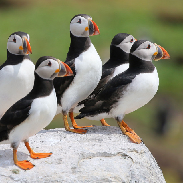 """A Circus of Puffins"" stock image"