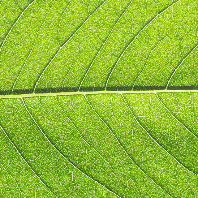 """""""Green leaf macro closeup close-up detailed photo with veins midrib and lamina in smallest details foliage glowing in sunlight."""" stock image"""