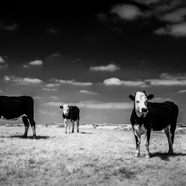 """Three Cows"" stock image"