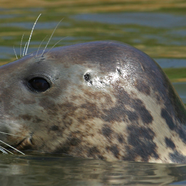 """Common Seal Extreme Closeup"" stock image"