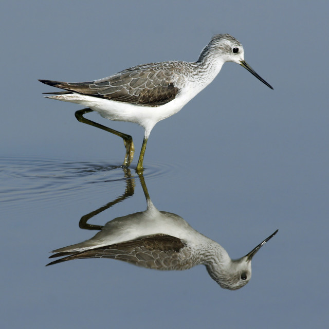 """Marsh Sandpiper - Tringa stagnatilis"" stock image"