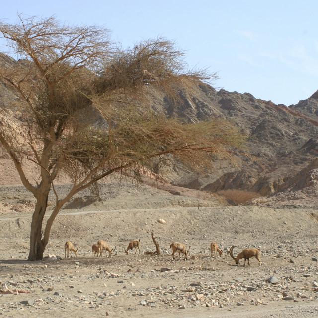 """Nubian Ibex (Capra ibex nubiana)"" stock image"
